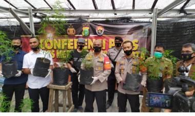 Kebun Ganja Ditemukan Di Kota Tangerang, Warga Sekitar Mengira Tanaman Cabai